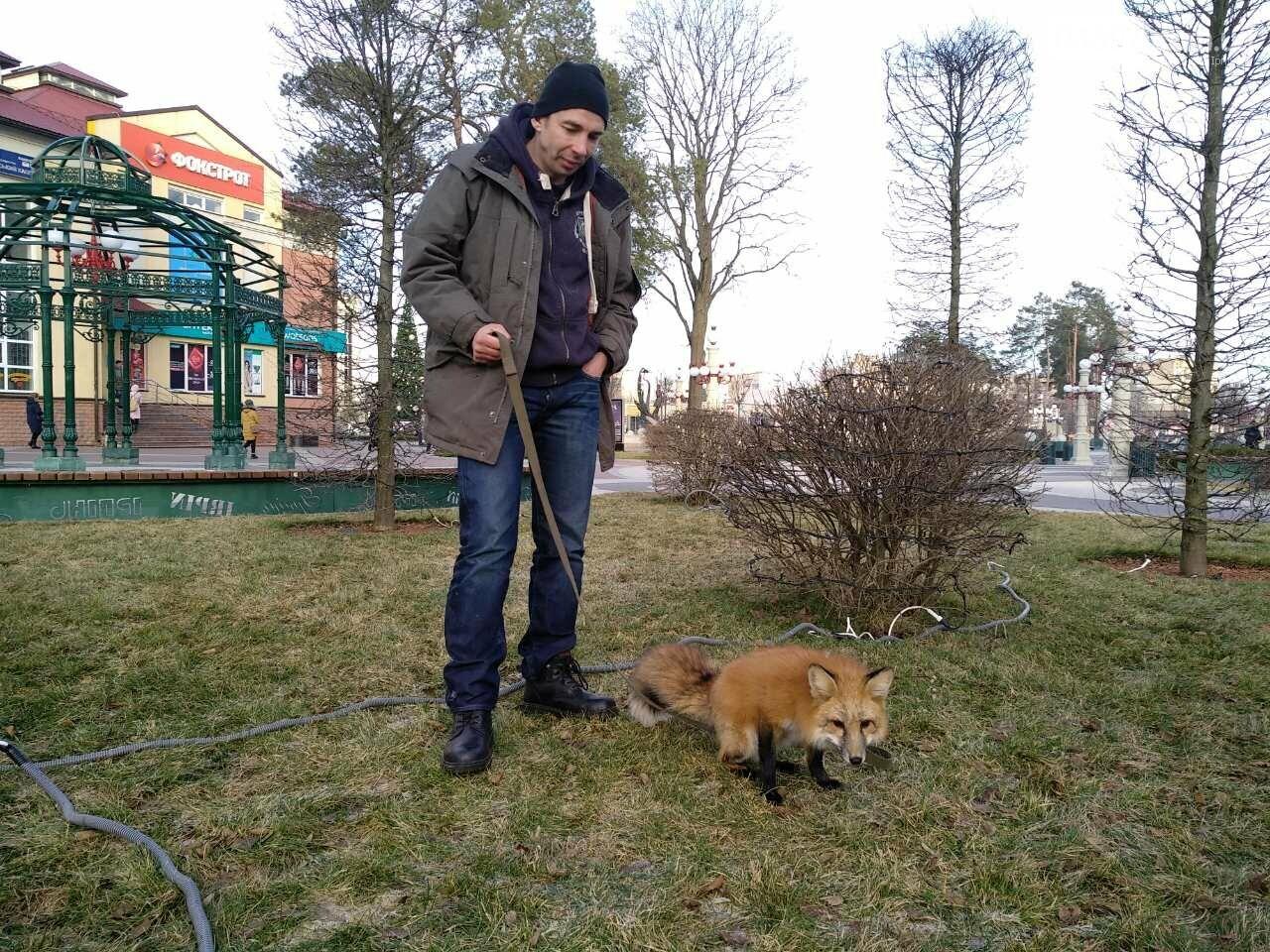 Сьогодні у центрі Ірпеня гуляв справжній лис (фото, відео), фото-2