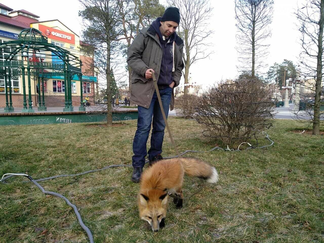 Сьогодні у центрі Ірпеня гуляв справжній лис (фото, відео), фото-1