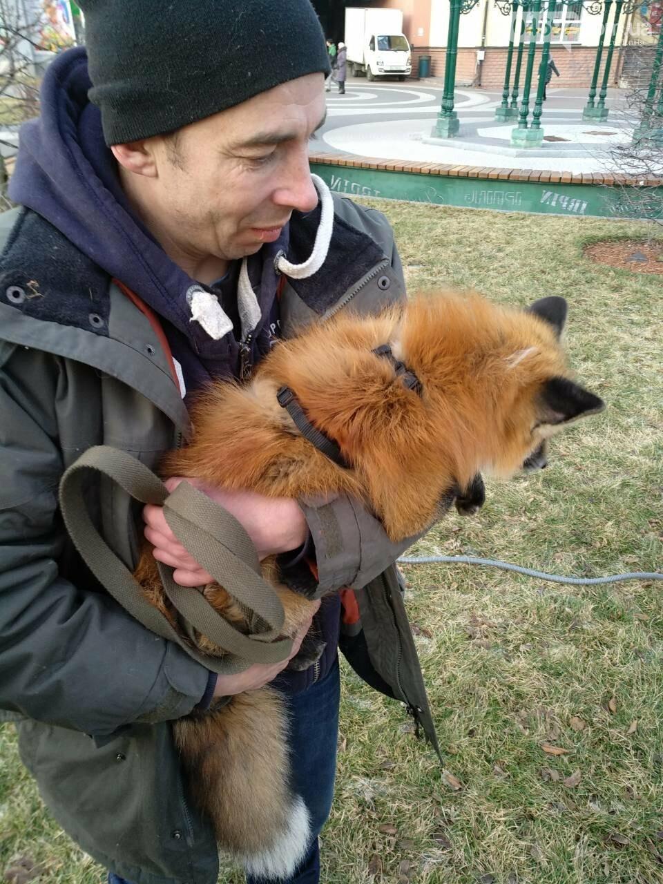 Сьогодні у центрі Ірпеня гуляв справжній лис (фото, відео), фото-3
