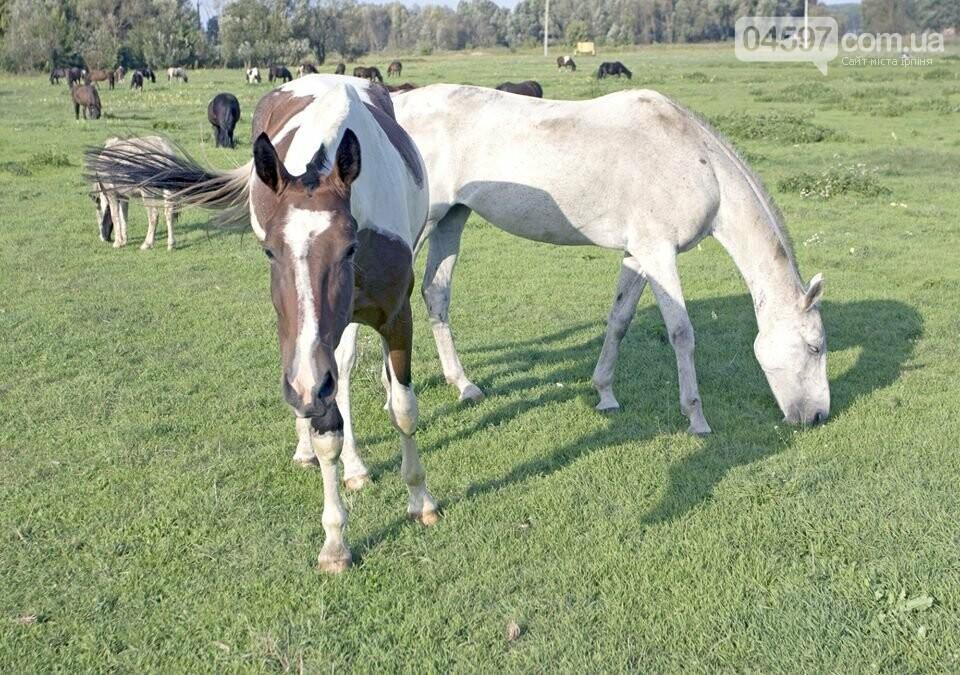 А в заплаві Ірпеня коні гуляють..., фото-11