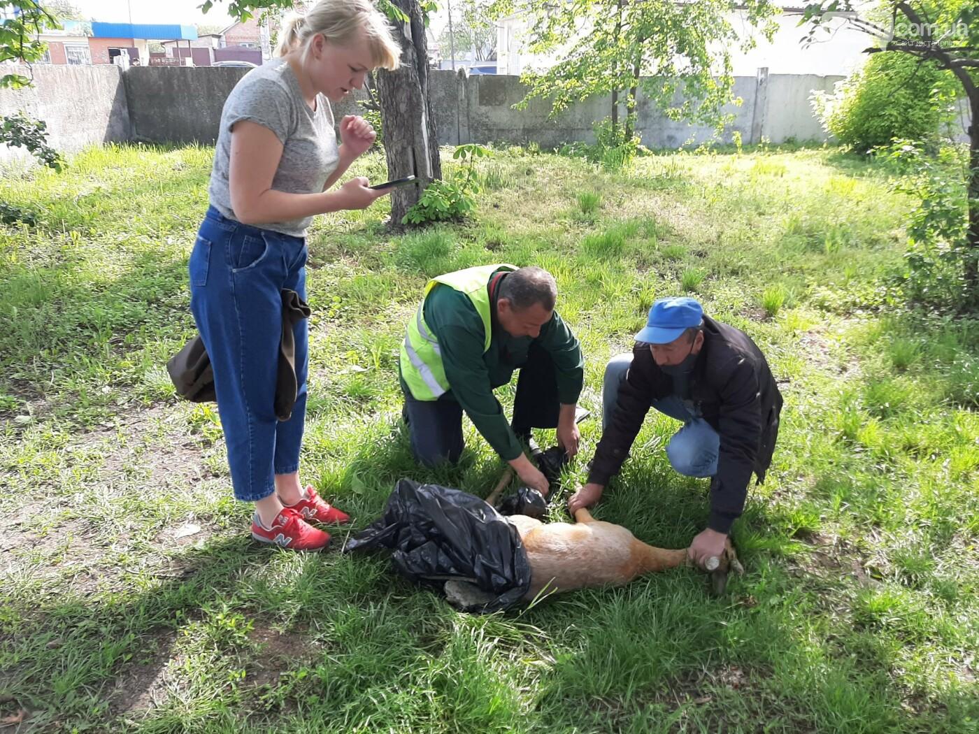 Поранили і хотіли зарізати: під Києвом рятують дику косулю, фото-3