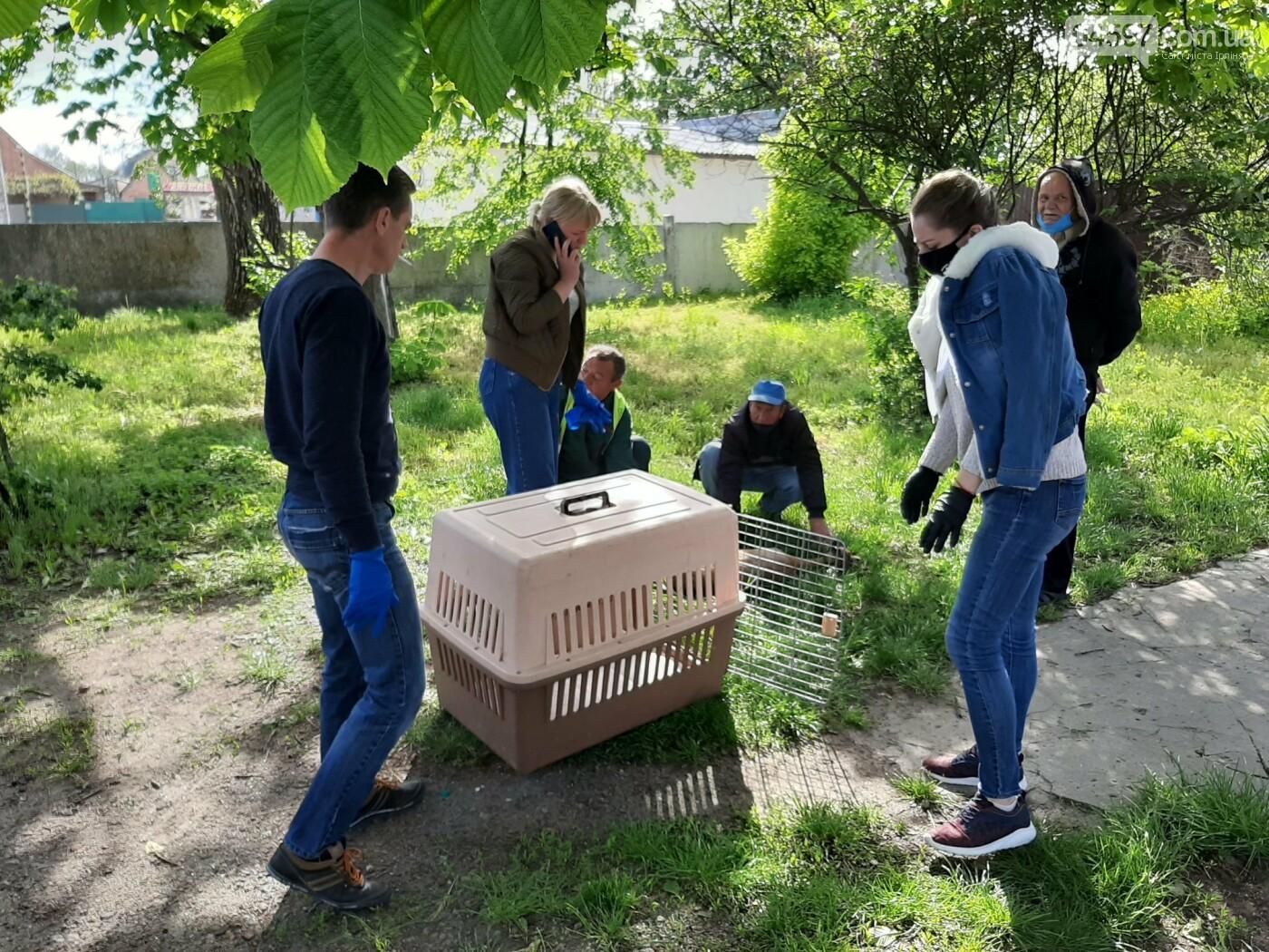 Поранили і хотіли зарізати: під Києвом рятують дику косулю, фото-2