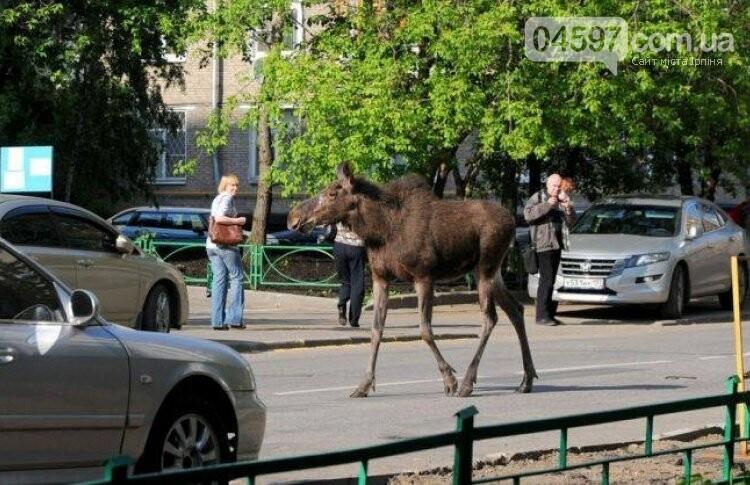 Лось гуляє вулицями Бучі, фото-1