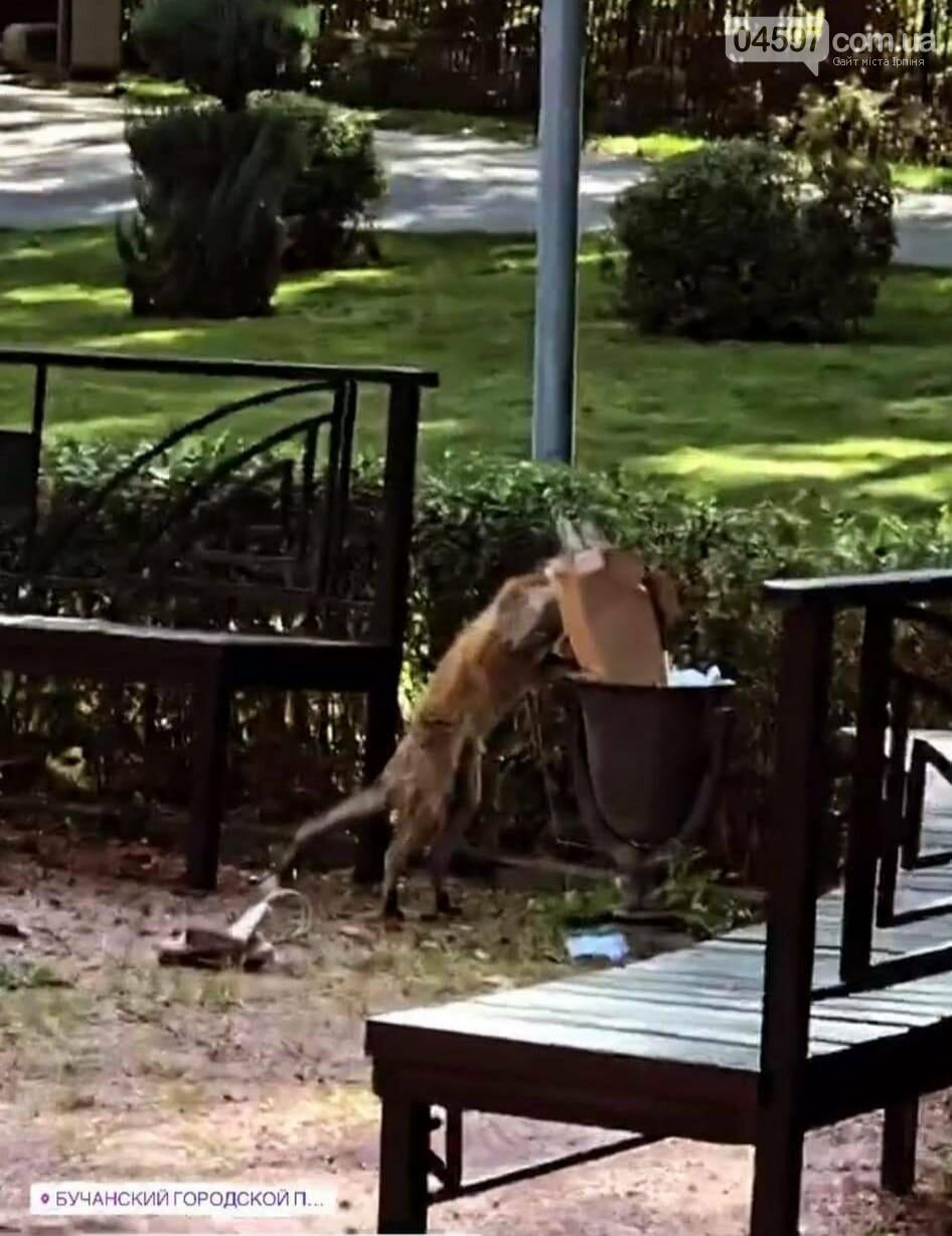 Лисиці у місті: в Бучі зоозахисники рятують лисенят, фото-2
