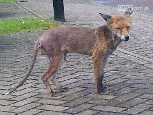 Лисиці у місті: в Бучі зоозахисники рятують лисенят, фото-1