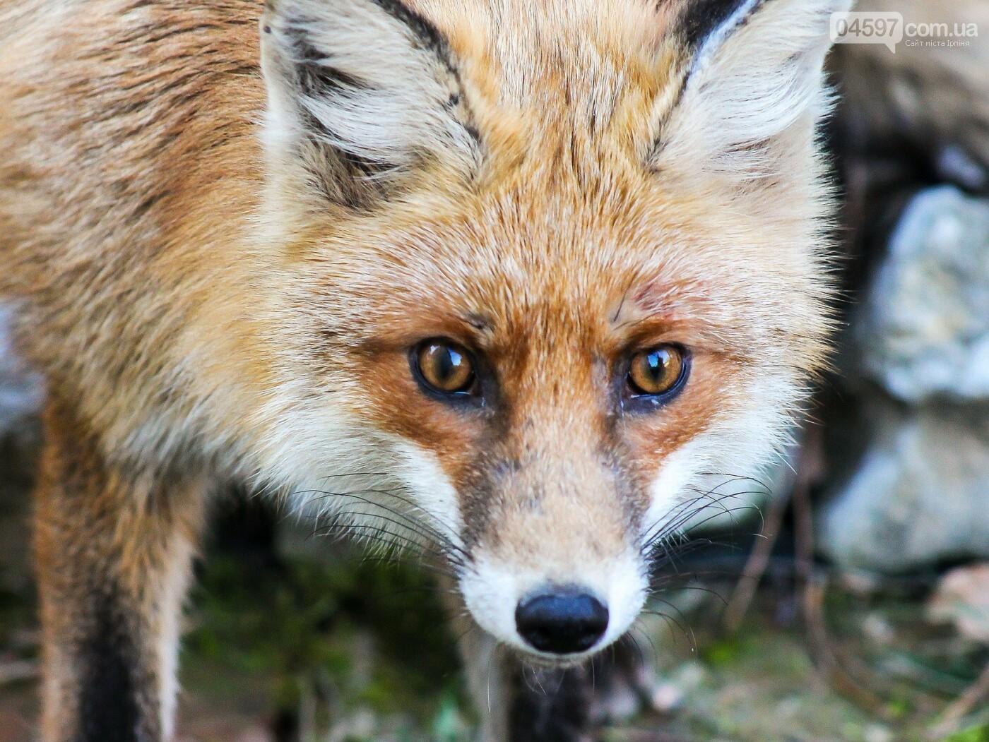 На Київщині лисиця покусала собаку