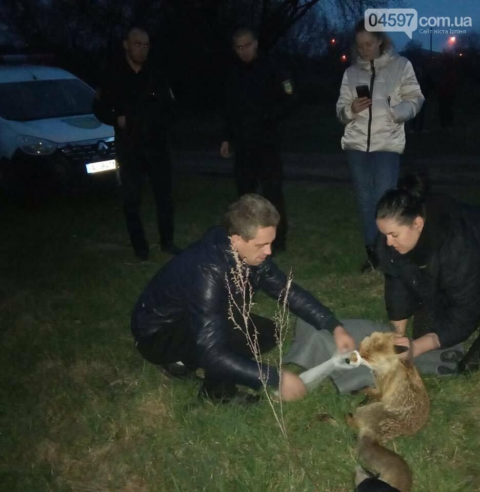 Зоозахисники рятують лисицю в Ірпені
