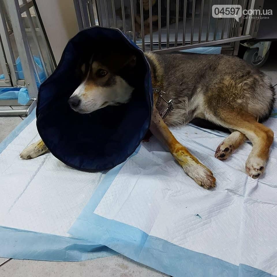 На Київщині рятують підстрелену собаку