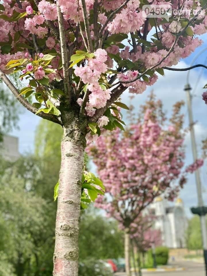 В Бучі розквітли рожеві сакури