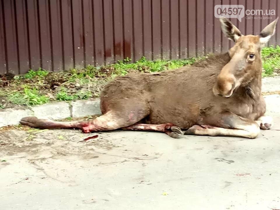 Травмований у Ворзелі лось помер , фото-1